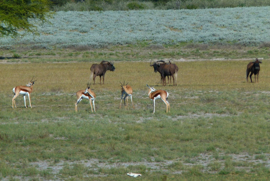 Black-Wildebeest-and-Springbuck-at-Tholo-Safaris---Photo-By-R-cropped